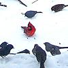kelliem: juncoes & a cardinal (snowbirds)