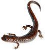 salamander: Salamander (what else?) (Salamander)