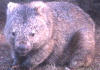 supergee: (wombat)