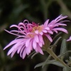 mrs_sweetpeach: (New England Aster)
