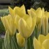 mrs_sweetpeach: (Yellow tulips)