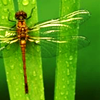 dragonfly_lily: (Dragonfly)