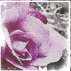angelofwar: (Purple Rose)