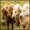 klgaffney: a line of icelandic ponies in shades from grey (white) to flaxen chestnut. (spectrum.)