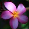 am_what_i_am: (Plumeria - Pink)
