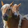 rezykel: (Hest - haflinger - føll&hoppe)