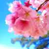 bossymarmalade: cherry blossoms (sakura means spring in vancity)