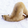 cafeshree: slumped polar bear (pooped polarbear)