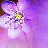 ceria: (flower)