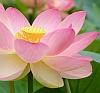 nelumbo_lutea: (water lily)