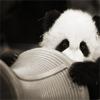 pennyroyal: Shy panda bear (Squee: Shy panda)
