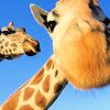 sylph: (giraffe)