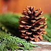 enveri: (pine cone)