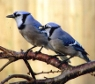 facetofcathy: Two blue jays on a branch (two_jay)