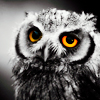 aaronlisa: (Stock: Owl)
