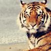byakko: ([Tiger] Watching the dawn)