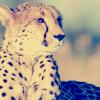 byakko: ([Cheetah] Across the Savanha)