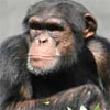 halialkers: A chimp looking serious. You'll never make a monkey out of me. (H'vorxixnon)