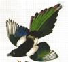 miss_adventure: (audubon magpie)