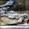 crumpetsfortaenia: (Angry Crocodile)