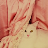 manifestjoy: White cat sitting under a pink curtain (kitteh - under a pink curtain)