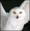 hedwig5221: (snowy owl)