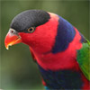 laurakeet: A photo of a lorikeet (Default)