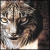 psi_yamaneko: (Iberian Lynx)