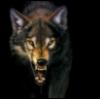 wyn: (Beliefs: Wolf: Guardian)