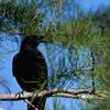 kajivar: (Crow)