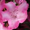 vampwillow: a flower (flower)
