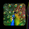 wallwalker: A vividly-colored peacock with a black border. (peacock)