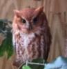 smallhobbit: (screech owl)