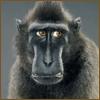 sophiawestern: jill greenberg (scowl monkey)