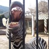 paraka: A zebra sticking it's head through the bars with it's mouth wide open (NF-Zebra)