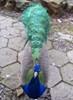 paraka: A peacock (NF-Peacock)