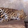 paraka: A cheeta sleeping (NF-Sleepy Cheeta)