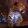 paraka: A cheeta sitting up (NF-Cheeta)