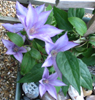 zoo_music_girl: (clematis)