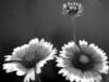 epershina: (цветок ч/б)