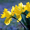 bronze_ribbons: three daffodiles learning left (daffodils)