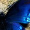 phinnia: closeup of a blue butterfly wing (blue butterfly)