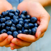 phinnia: a handful of blueberries (blueberries in hands)