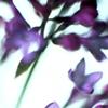 viola: (lilacs)