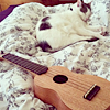 aquaprofunda: A cat sleeping on a bed near a ukulele (Pixel & Betsy)
