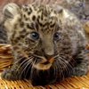 tornir: A photograph of a leopard cub, looking wide eyed and curious. (Oooo...)