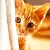 revolutions: A ginger kitten peeking out from behind a curtain (ginger kitten)