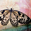revolutions: A black-and-white picture of a butterfly against a pink and green abstract background. (butterfly wings)