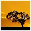 adair: dark single tree against yellow sky (black tree)