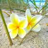 bluflamingo: yellow and white flowers on sand (Flowers on beach)
